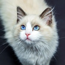 Blue Eyed Cat Art