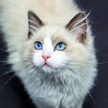 Blue Eyed Cat Art