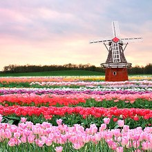 Dutch Bulb Field Windmill