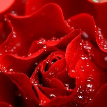 Macro Rose Droplets