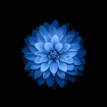 Blue Lotus Flower iOS 8