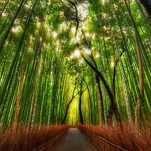 Bamboo Dream