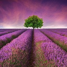 Tree In Field Of Lavender