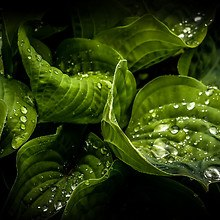 Leaf Water Droplets