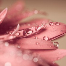 Flower Petal Water Droplets