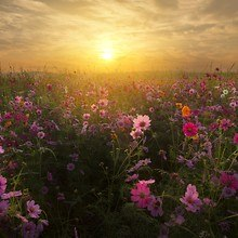 Sunset Mist Over Field Of Flowers