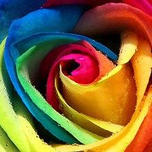 Colorful Rose Macro
