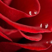 Rose Macro Droplets