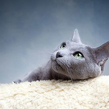 Grey Fur Cat