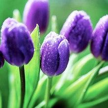 Macro Tulips