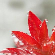 Red Flower (LG Optimus)