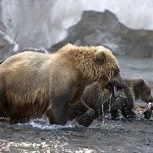 Bears In Water
