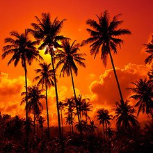 Coconut Palms - Thailand