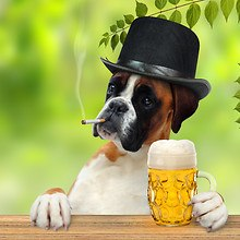 Gentleman Boxer Dog