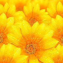Water Droplets On Yellow Flowers