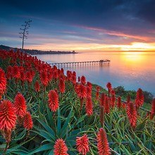 Aloe Flowers - San Diego Sunset