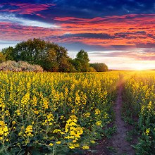 Field Of Yellow Canola Flowers