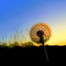 Sunset Dandelion